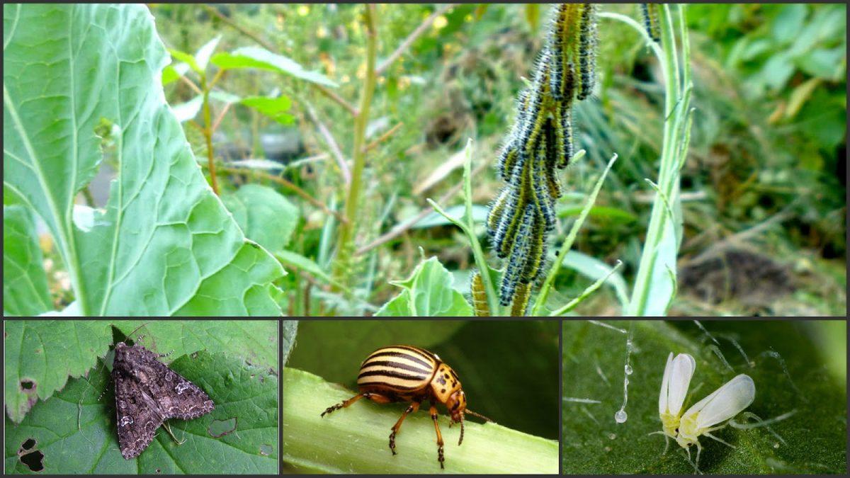 De ce sunt daunatoare insectele?